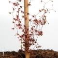 Sundew 'Drosera gigantea'