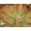 Sundew 'Drosera graomogolensis'