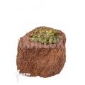 Sundew 'Drosera hamiltonii'