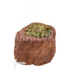 Drosera hamiltonii
