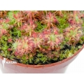 Sundew 'Drosera leucostigma' 'Red