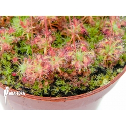 Drosera leucostigma 'Red'