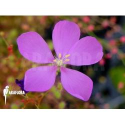 Drosera menziesii 'Flower'