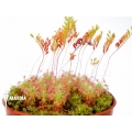 Sundew 'Drosera micrantha'