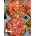 Sundew 'Drosera montana var. Tomentosa'