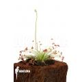 Sundew 'Drosera paradoxa' 'S'