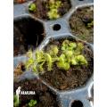 Sundew 'Drosera platypoda'