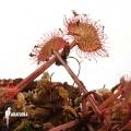 Sundew 'Drosera prolifera'