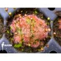 Sundew 'Drosera pygmaea'