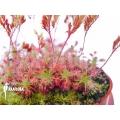 Sundew 'Drosera roseana'