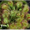 Sundew 'Drosera rotundifolia'