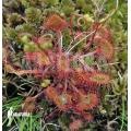 Sundew 'Drosera rotundifolia 'XL'