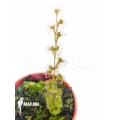 Sundew 'Drosera rupicola red'