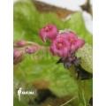 Sundew 'Drosera schizandra 'Flower'