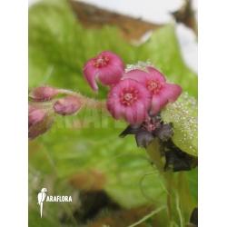 Drosera schizandra 'Flower'