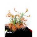 Sundew 'Drosera scorpioides'