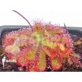 Sundew 'Drosera spatulata ssp gympiensis'