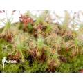 Sundew 'Drosera stelliflora'
