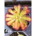 Sundew 'Drosera trinervia' 'Starter'