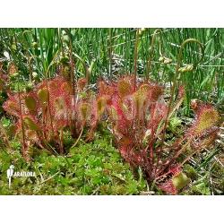 Drosera x obovata 'Habitat'