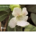 Drymonia serrulata 'Surinam'