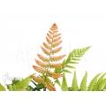 Autumn fern 'Dryopteris erythrosora'