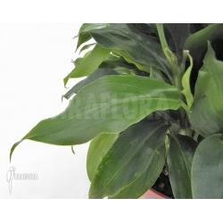 Elettaria cardamomum (Amomum)
