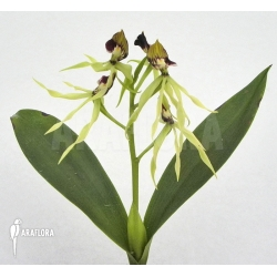 Prosthechea cochleata