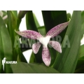 Orchid 'Encyclia garciana' starter