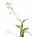 Orchid 'Epidendrum aviculum'