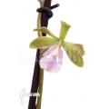 Orchid 'Epidendrum floribundum'