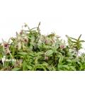 Orchid 'Epidendrum porpax'