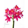 Orchid 'Epidendrum radicans'