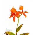 Orchid 'Epidendrum radicans orange'