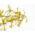 Orchid 'Epidendrum stamfordianum'