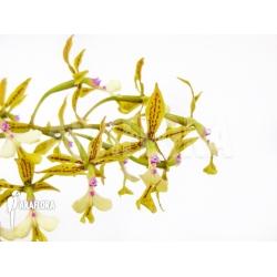 Epidendrum stamfordianum