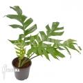 Epipremnum pinnatum Zielony Parapet
