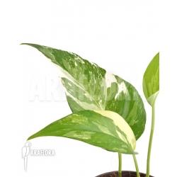 Epipremnum pinnatum variegated RT