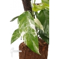 Epipremnum pinnatum variegated XL