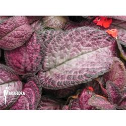 Episcia cupreata Pink Smooth