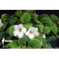 Episcia dianthiflora starter