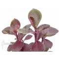 Euphorbia bicompacta var. Rubra