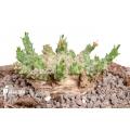 Euphorbia gorgonis 'S'