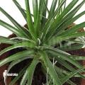 Bromeliad 'Fasciculaire bicolor'