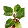 Ficus altissima variegated 'Starter'
