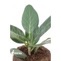 Ficus benghalensis 'Audrey' 'M'