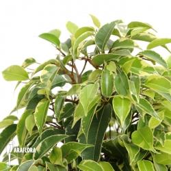 Ficus benjamina 'Sunny'