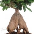Curtain Fig Ficus microcarpa (L)