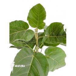 Ficus sp 'everest'