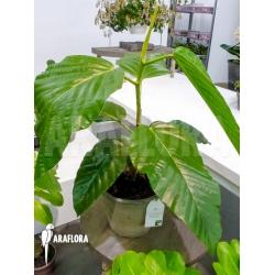 Ficus species Adam